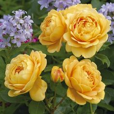 "David Austin rose 'Golden Celebration'. Easy to grow, huge blooms 3-6"" across. Ordered from David Austen 2/28"