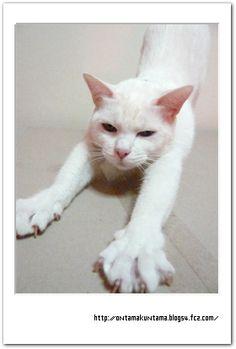 タイ猫 カオマニー Khaomanee แมวไทย ขาวมณี Antique Thai Cats アンティークタイキャット