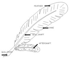 Feather Diagram for notebooks Apologia Flying Creatures Zoology 1