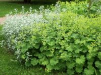 2 Alchemilla Ladys Mantle plant in pots approx. Alchemilla Mollis, Achillea, Geraniums, Horticulture, Wedding Flowers, Herbs, Garden, Plants, Things To Sell