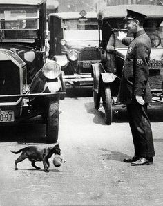 A policeman in New York City stops traffic just for a cat to carry its kittens across the street 1925