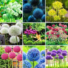 100สีม่วงยักษ์A Llium Giganteumเมล็ดพันธุ์ดอกไม้ที่สวยงามสวนพืชอัตราการรุ่น95%ดอกไม้ที่หายากสำหรับเด็ก