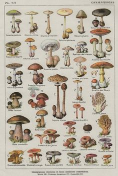 Mushroom Chart - Vintage French Botanical Print - there are lots of lovely printable downloads on this site for their members.