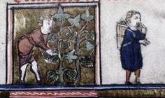 Sneaking one in. Sarah Laseke @aclerktherwas  Jun 19 Harvesting grapes (Oxford, Bodleian Library, MS Laud Lat 84, f.9v)