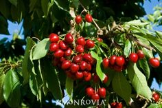 Monrovia's Stella Sweet Cherry details and information. Learn more about Monrovia plants and best practices for best possible plant performance.