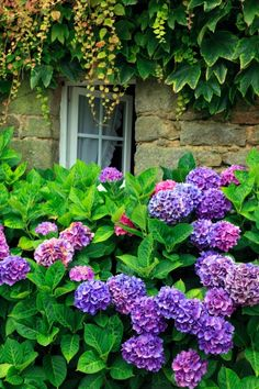 France, Morbihan (56), massive hydrangea (Hydrangea macrophylla), purple, before a window and facade covered in vine (Vitaceae),