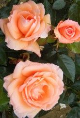 'Lady Marmalade' (Rose Of The Year 2014) -Bare Root