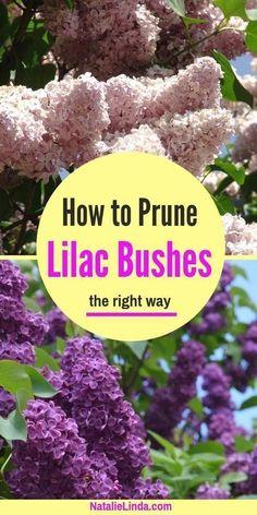 Garden Care, Gardening For Beginners, Gardening Tips, Gardening Courses, Gardening Quotes, Prune Lilac Bush, Lilac Bushes, Magic Garden, Garden Fun