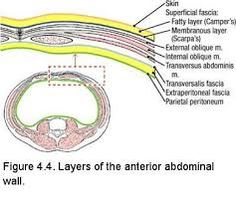 layers of the abdominal wall - Google Search