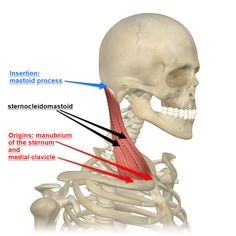 This month David highlights the sternocleidomastoid muscle. Learn where this pair of neck muscles are found, what they do, and what yoga postures use them. Neck Muscle Anatomy, Sternocleidomastoid Muscle, Shoulder Anatomy, Massage Place, Anatomy Images, Scoliosis Exercises, Human Body Anatomy, Neck And Shoulder Pain, Shoulder Muscles