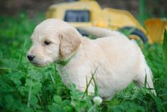 This Goldendoodle puppy likes bulldozers.
