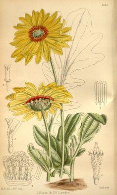 Venidium - Curtis's botanical magazine. (1920)