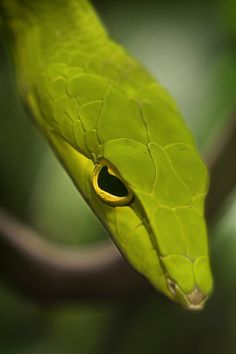 Asian Vine Snake (yikes he's scary looking)