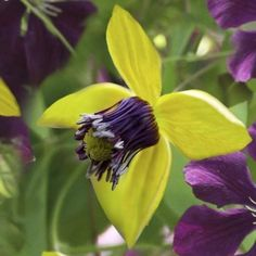 Clematis-Golden-Tiara-1-Bare-Root-rhizome-Early-Large-flowered-Vine