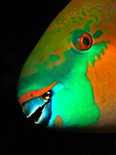 The aptly named parrot fish. Creepy, pretty, altogether strange.