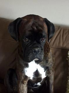 The many things we all like about the Fun-Loving Boxer Puppies Boxer Dog Puppy, Boxer Breed, Brindle Boxer Dogs, Beagle Puppies, Boxer And Baby, Boxer Love, Animals Beautiful, Cute Animals, Animals Dog