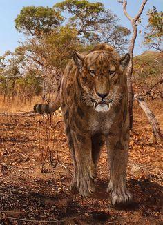 Machairodus Giganteus by Leogon.deviantart.com on @DeviantArt