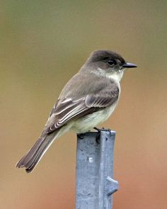 "Eastern Phoebe - we love their cute little flicky tails and their ""feeBREE feeBREE"""