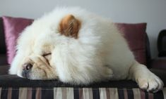 THE FLUFF! <3 #Doggo #Puppy #ChowChow #DogMom #DogDad #Dogs #Dog #DogLover #RescueDog #ShelterDog