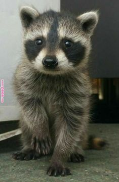 A baby Raccoon. Funny Wild Animals, Cute Baby Animals, Animals And Pets, Cute Creatures, Beautiful Creatures, Animals Beautiful, Baby Raccoon, Cute Raccoon, Photo Animaliere