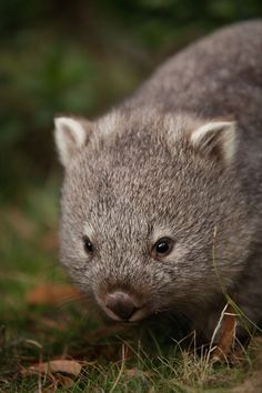 Baby Wombat by ~analogital