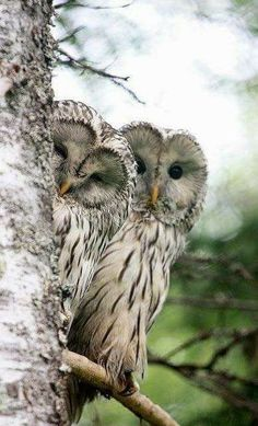 a prohibition of (barred) owls