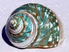 #Green Turban #Sea Shell #spiral ~*~ When I was little I used to think shells like this were magical and that if you wished on the shimmery reflections of the sunlight on the water that your wish would come true.