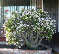 Front Yard With Jade Plant