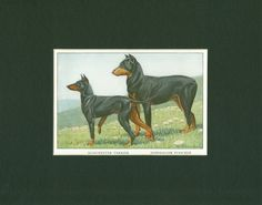 1919 Vintage Manchester Terrier and Doberman Pinscher Dog Print by thinaircreations on Etsy