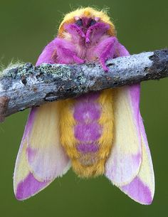 """arseniccupcakes: """" lordjazor: """" landofrhymeandreason: """" The Rosy Maple Moth is the prettiest moth ever. (I do not own the rights to these photos, I just wanted to share this beautiful moth with. Cool Insects, Bugs And Insects, Especie Animal, Mundo Animal, Beautiful Bugs, Beautiful Butterflies, Beautiful Creatures, Animals Beautiful, Rosy Maple Moth"""