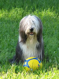 BEARDED COLLIE. One truly loving and wonderful breed. Very active, clowns. Can be very noisy!