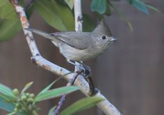 oak titmouse | one of my favorite little birds