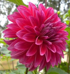 Photo of Decorative Dahlia (Dahlia 'Raspberry Punch') uploaded by vic