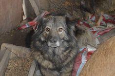 SILVA  Sie ist 7 Jahre alt, medium, ca 15kg, geimpft, kastriert. Kontakt: herzenshunde.valcea@gmail.com