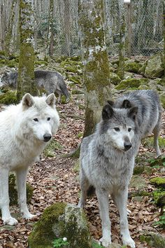 La Maison des Loups (Orlu, Ariège)