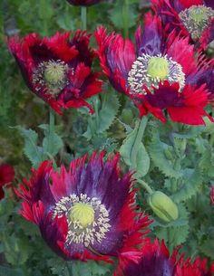 Poppy 'Drama Queen' Seeds / Papaver somniferum / Opium
