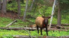 This is the quickest elk kill with an arrow that I've ever seen. Great shot by a 13 yr old boy!!