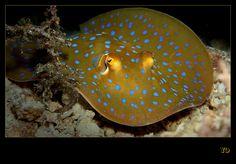 Blue spotted stingray by Yo's underwater pics, via Flickr