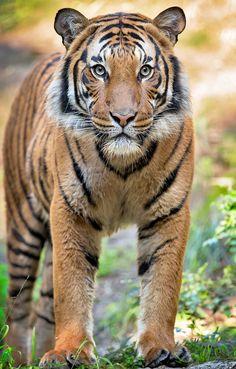 Amazing wildlife. Tiger photo #tigers