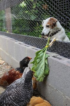 1000 Images About Fencing On Pinterest Chicken Fence