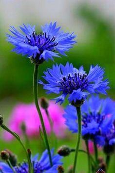 Flowers Blue Bloemen New Ideas Month Flowers, Summer Flowers, Bachelor Buttons, Natural, Flower Tattoo Designs, Green Garden, Floral Crown, Red Wedding, Shades Of Purple