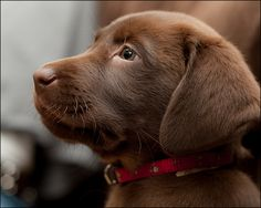 Chocolate Labrador puppy - I want one, please!