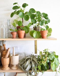Feed your Pilea once a month and it will grow happy and healthy!