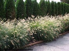 Capim do Texas Verde (Pennisetum setaceum) Outdoor Plants, Outdoor Gardens, Planting Grass, Architectural Plants, Fountain Grass, Fence Landscaping, Modern Landscaping, Garden Shrubs, Ornamental Grasses