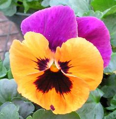Amor perfeito- Always been partial to Pansies. Plant Fungus, Edible Flowers, Cut Flowers, Flower Pictures, Flower Art, Pansy Flower, Pansies, Watercolor Flowers, Flower Power