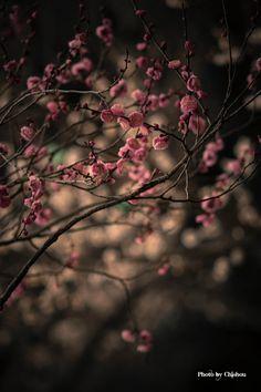 plum blossoms. by Chishou Nakada on 500px