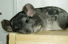 Chinchilla Exercise - Pippin having a well-earned rest after 'out-of-the-cage' exercise. © Stapler.