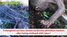 Sun bear pounded by plantation workers in Borneo! Demand tha... - Care2 News Network