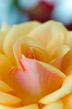 """Start knowing. The rose opens, and opens, and when it falls, falls outward."""" -Rumi (translation by Andrew Harvey from """"A Year of Rumi"""" on DailyOM) Love Rose, Pretty Flowers, Yellow Roses, Red Roses, Peach Flowers, Coming Up Roses, Colorful Roses, Mellow Yellow, Beautiful Roses"""
