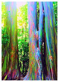 Gökkuşağı Okaliptüs Ormanı, Maui...